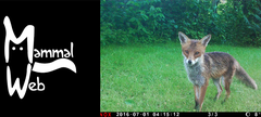 A fox appears on a mammal recording camera