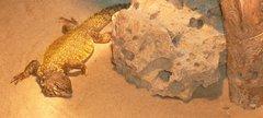 Gizmo the dwarf spinny tailed lizard