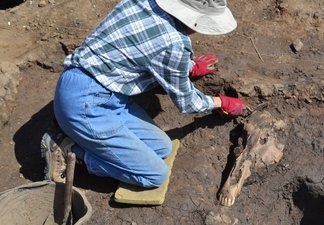 A person excavating a horse skull