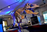 Replica cast of a Tyrannosaurs rex skeleton with dramatic blue lighting