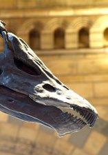 The skull of the Diplodocus housed at the NHM, London