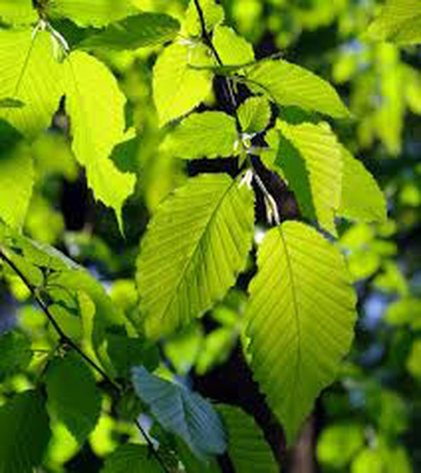 Alder tree leaves